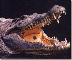 crocodile Eye of Moon