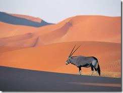 A lone oryx antelope.